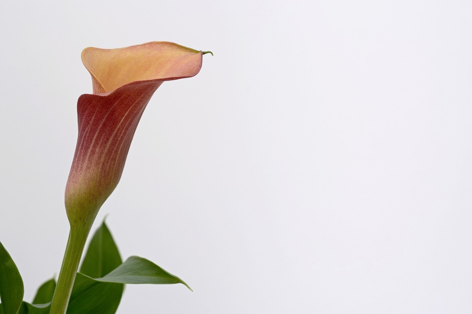 Fototapete Calla in XL