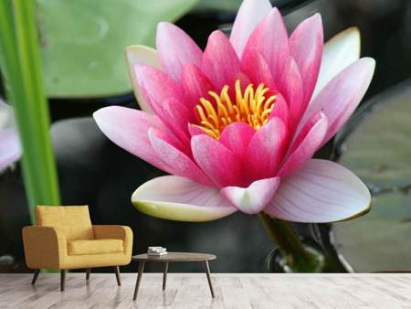 Photo Wallpaper The water lily in pink