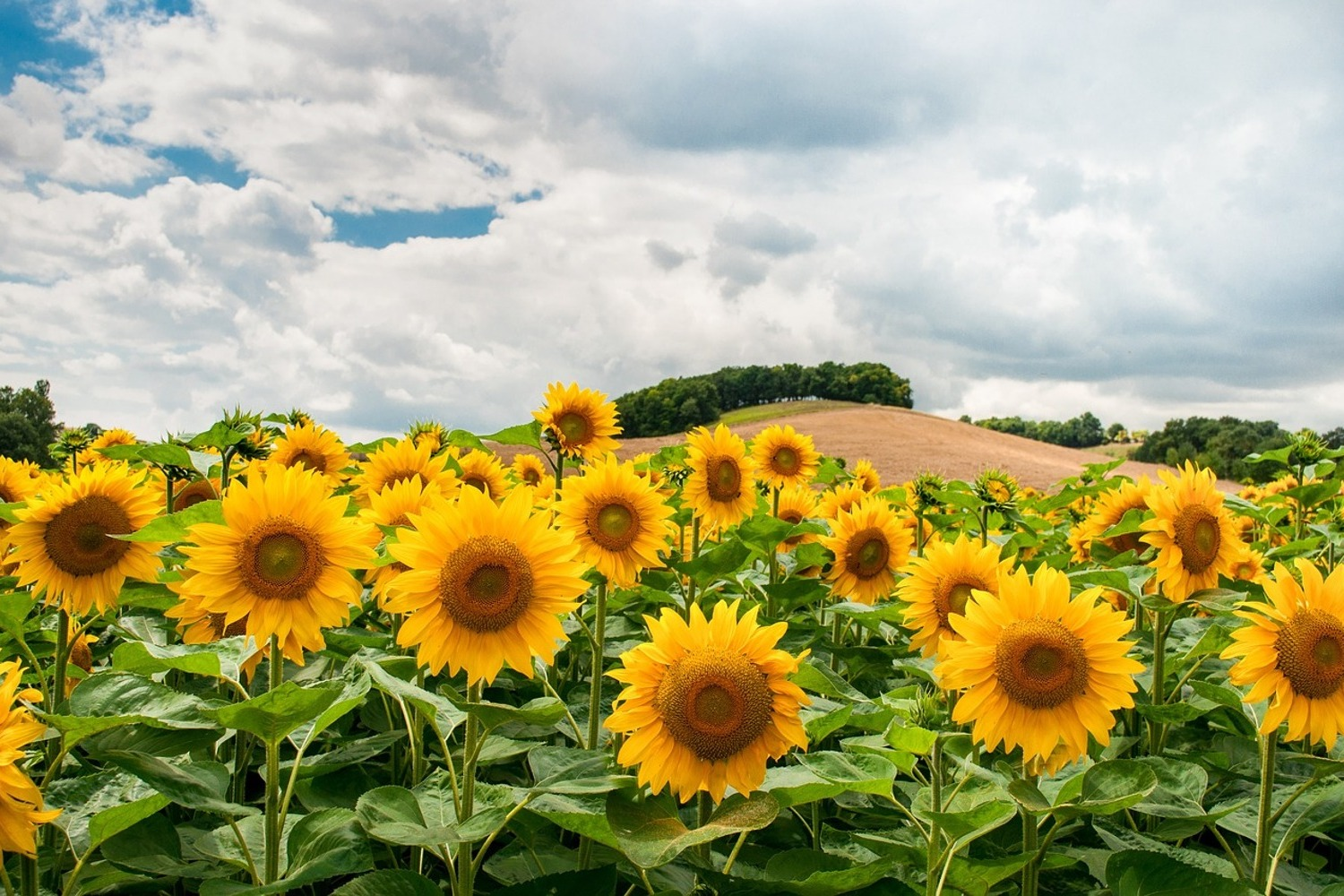 Wallpaper Landscape With Sunflowers