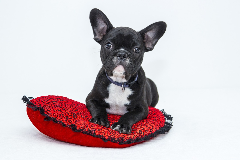 Fototapete Bulldogge zum Verlieben