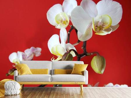 Photo Wallpaper White orchids on red wall