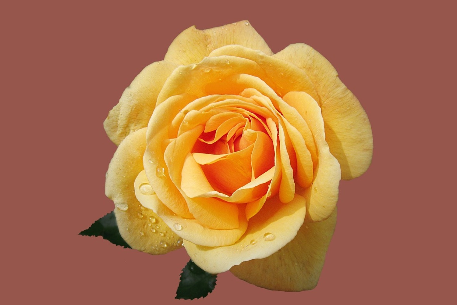 Photo Wallpaper Rose in yellow XXL