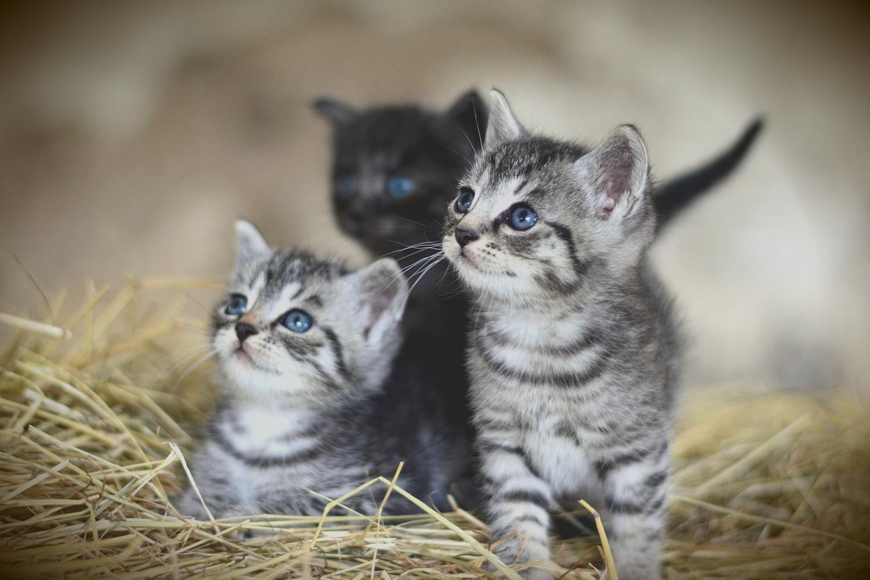 Fototapete Kitten Trio