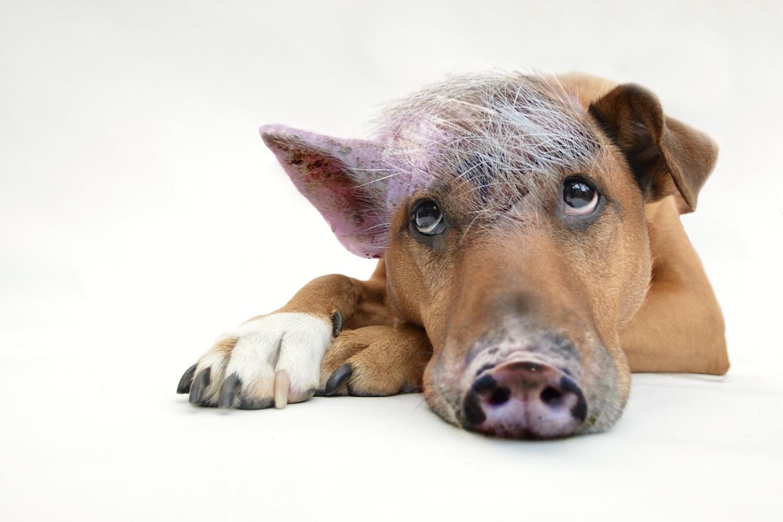 Fototapete Der lustige Schweine Hund
