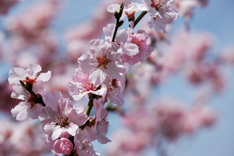 Photo Wallpaper Japanese Cherry Tree Close Up