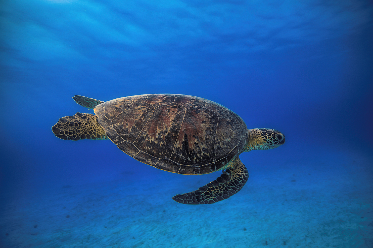 Papier peint photo Green Turtle In The Blue