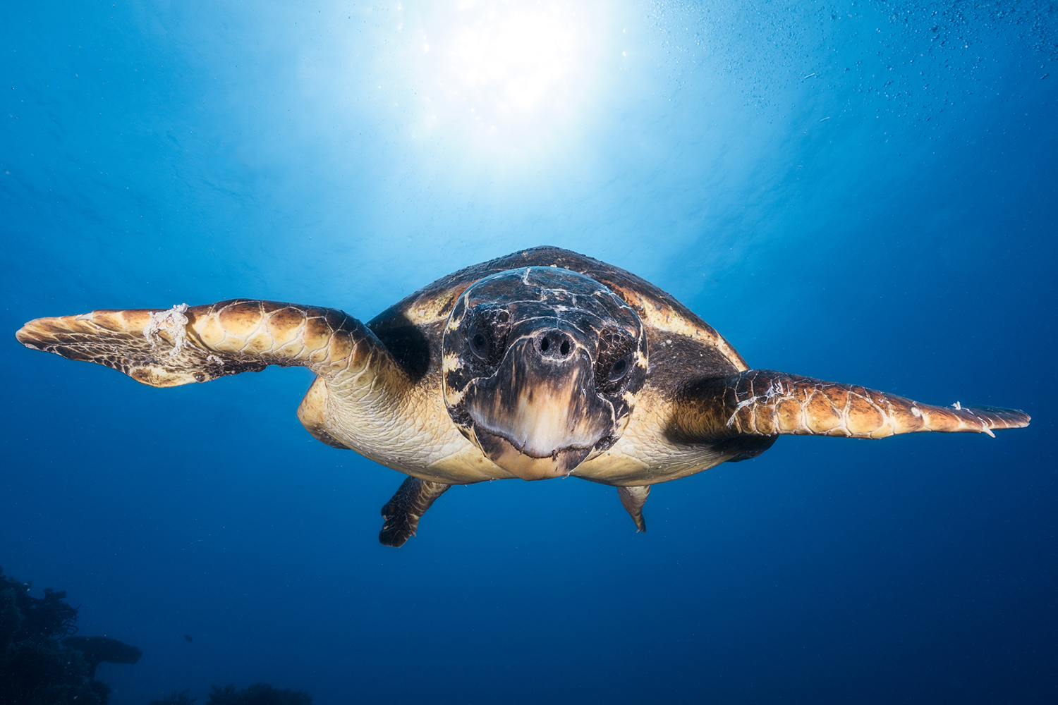 Fototapet Face To Face With A Hawksbill Sea Turtle