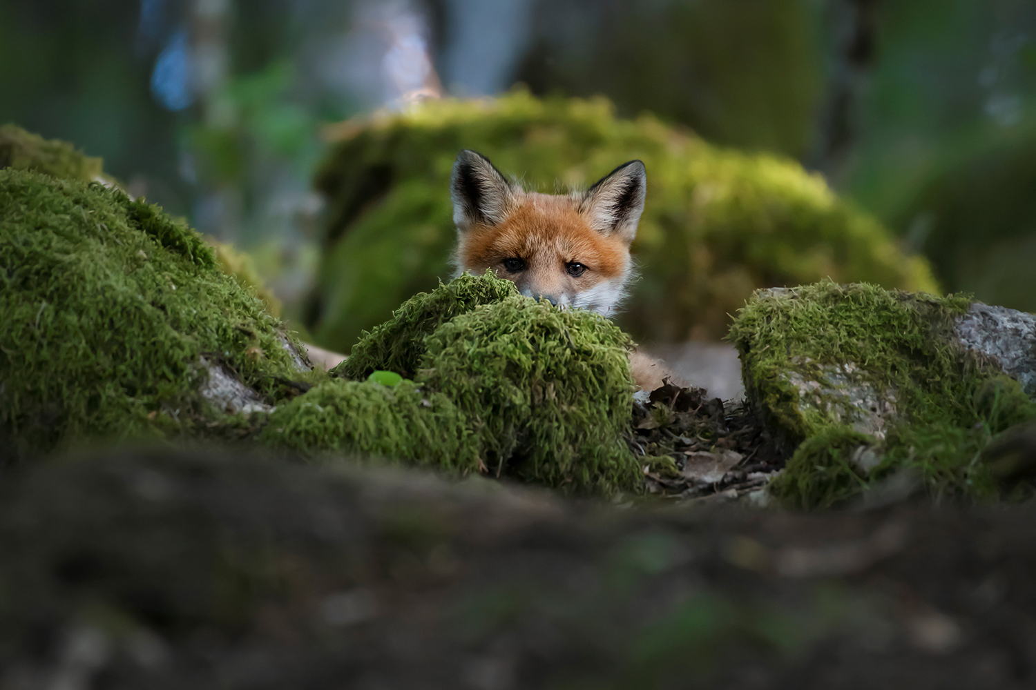 Fototapet Curious Fox
