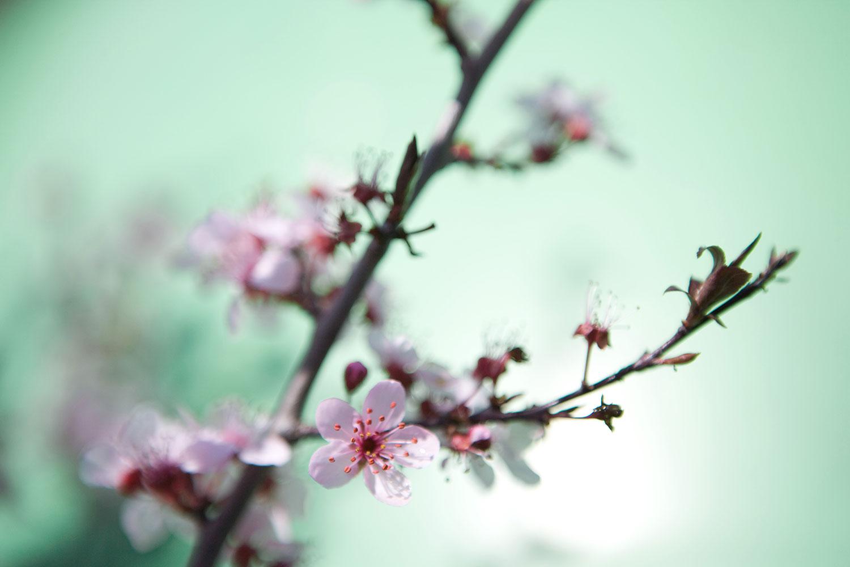 Fototapete Die japanische Kirschblüte