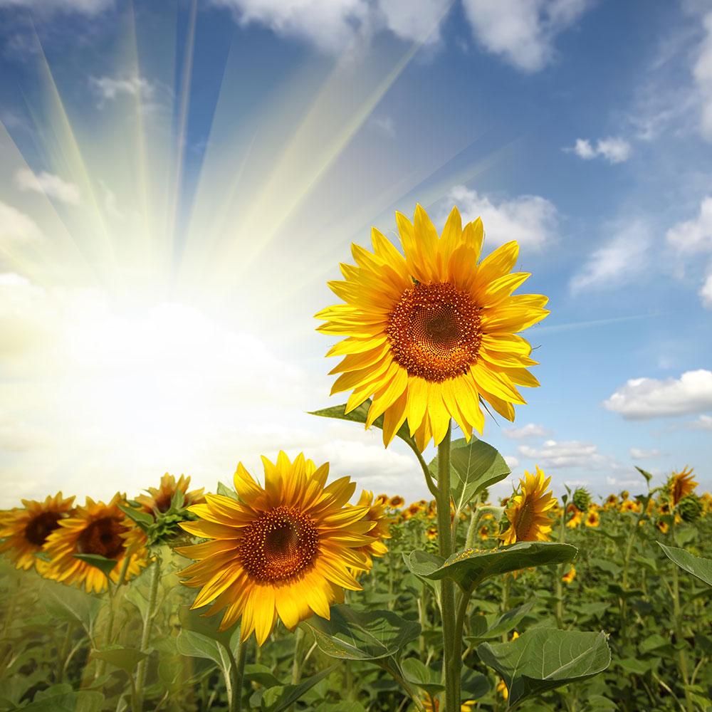 Fototapete Sonnenblumen im Sonnenlicht