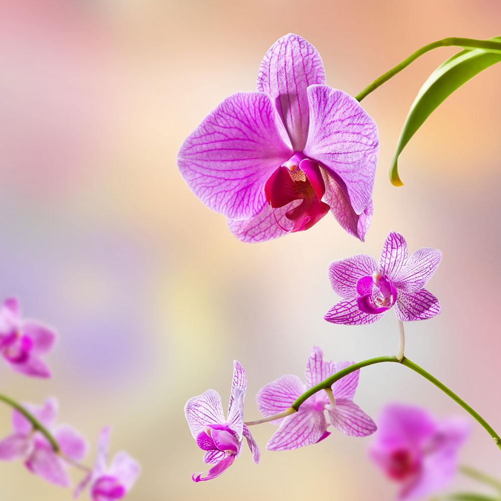 Fototapete Romantische Orchideen