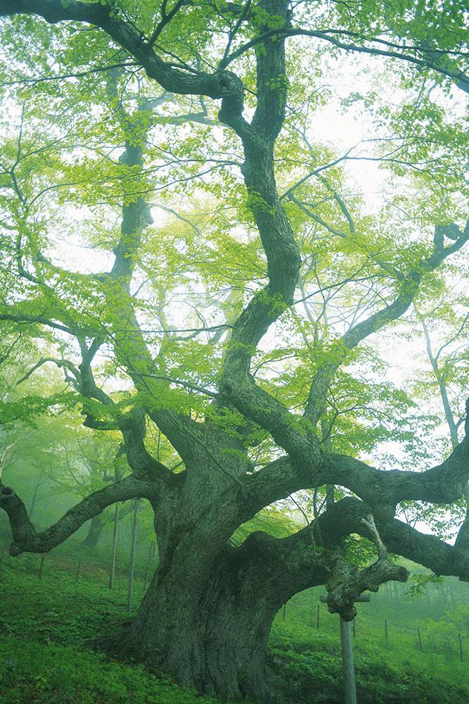 Fototapete Der alte Baum