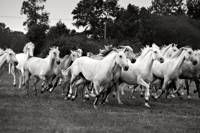 Fototapete Die Mustang Herde