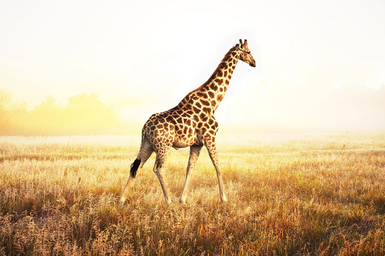 Fototapete Die Giraffe