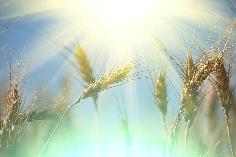Fototapete König des Getreides