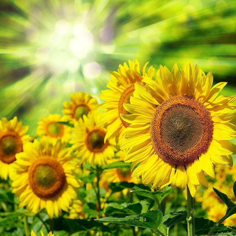 Fototapete Die Sonne und die Blumen