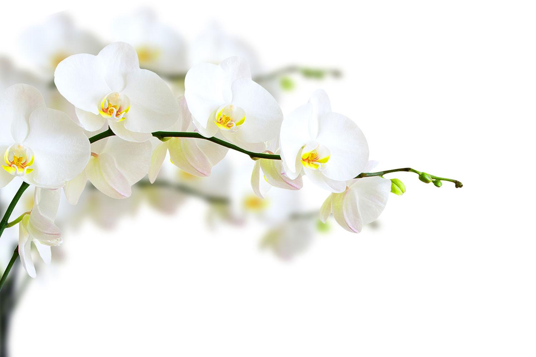 Fototapete Weisse Orchideen