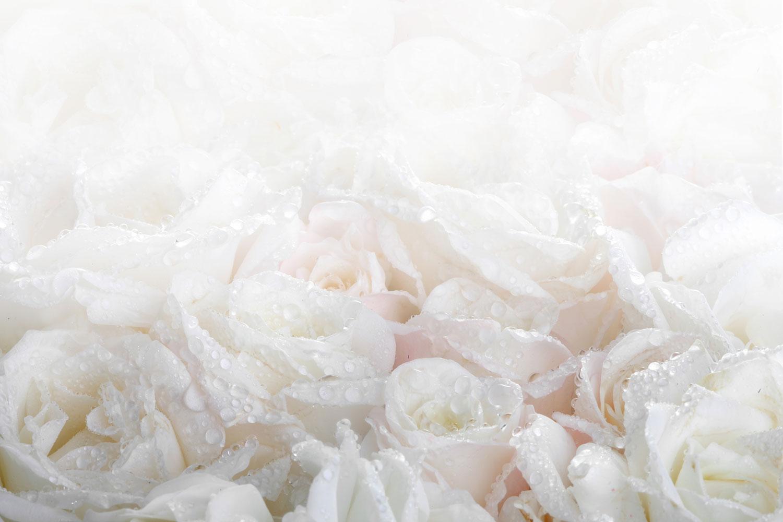 Fototapete Weisse Rosen im Morgentau