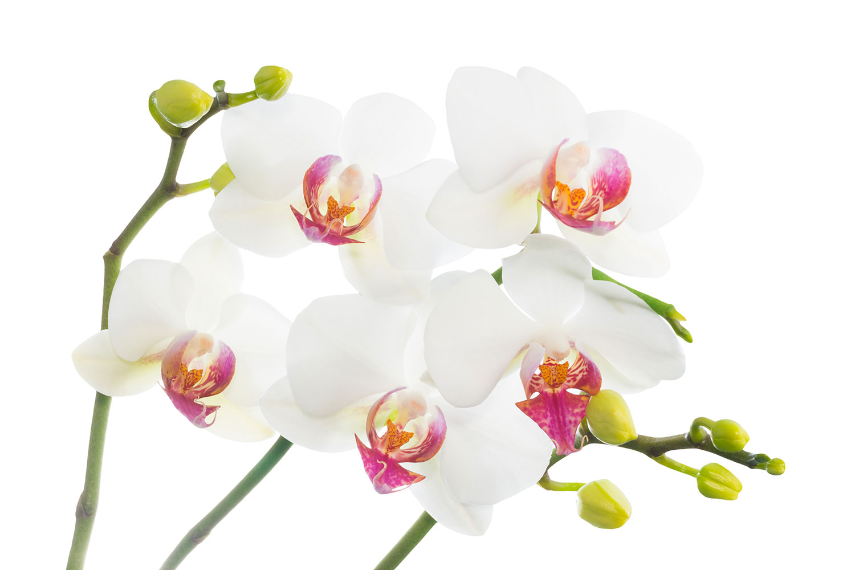 Fototapete Orchideenliebe