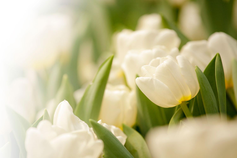 Fototapete Tulpenperspektive