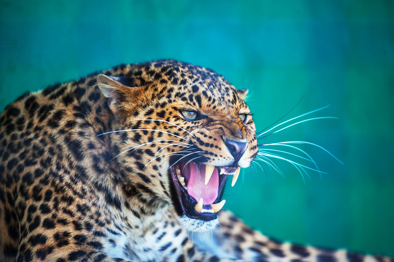 Fototapete Achtung Leopard