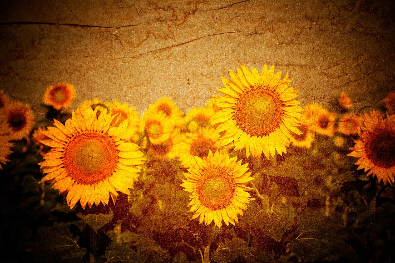 Fototapete Retro-Sonnenblumen