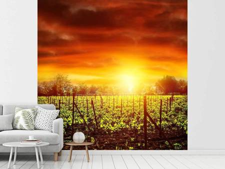 Photo Wallpaper The Vineyard At Sunset