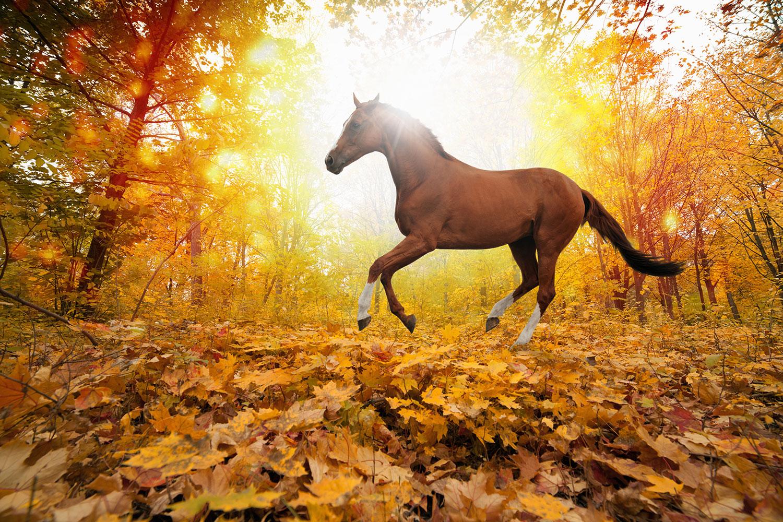 Fototapete Vollblut im Herbstwald