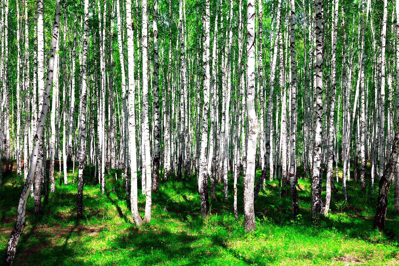 Fototapete Sommerlicher Birkenwald