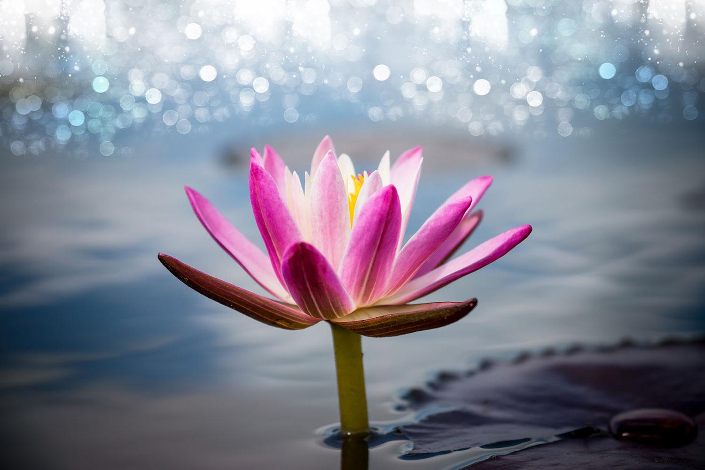 Fototapete Lotus im Morgentau