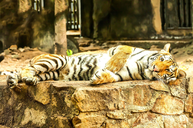 Fototapete Der Sibirische Tiger