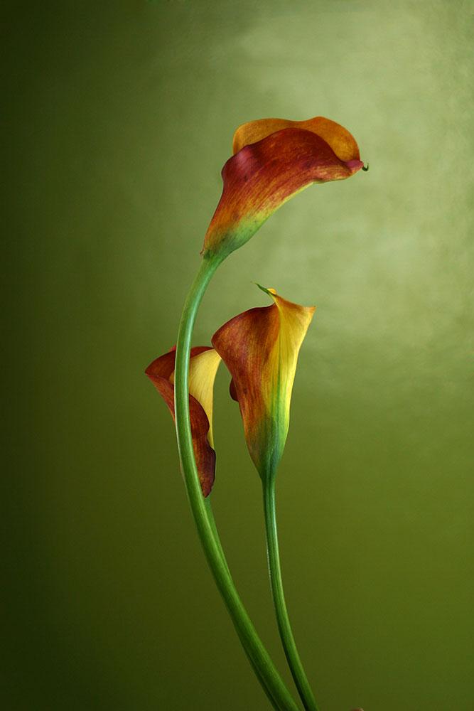 Fototapete 3 Callas