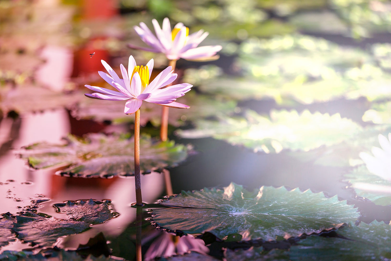 Fototapete Seerosen im Teich