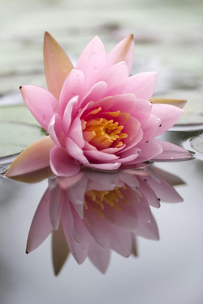 Fototapete Lotus