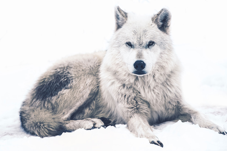 Fototapete Der Wolf