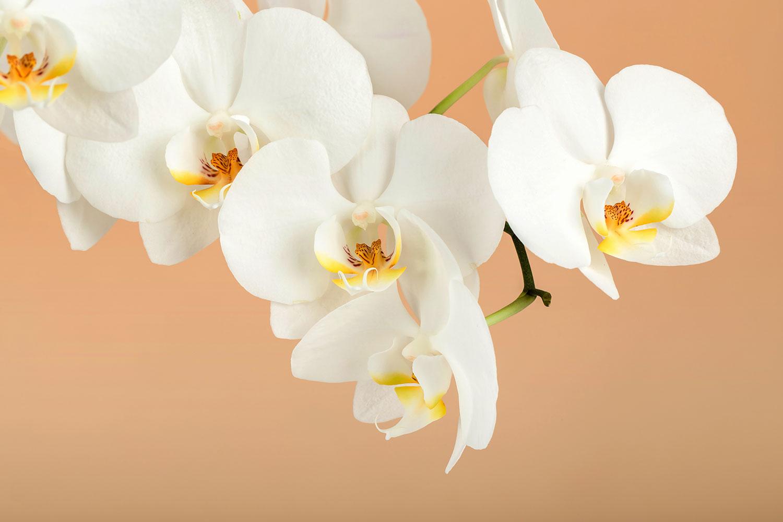 Fototapete Weisse Orchideenblüten