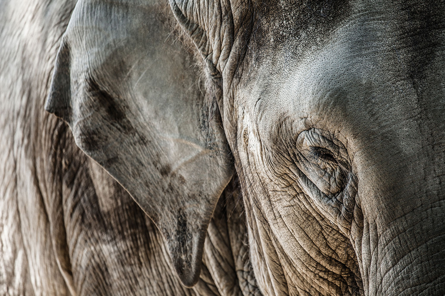 Fototapete Close Up Elefant