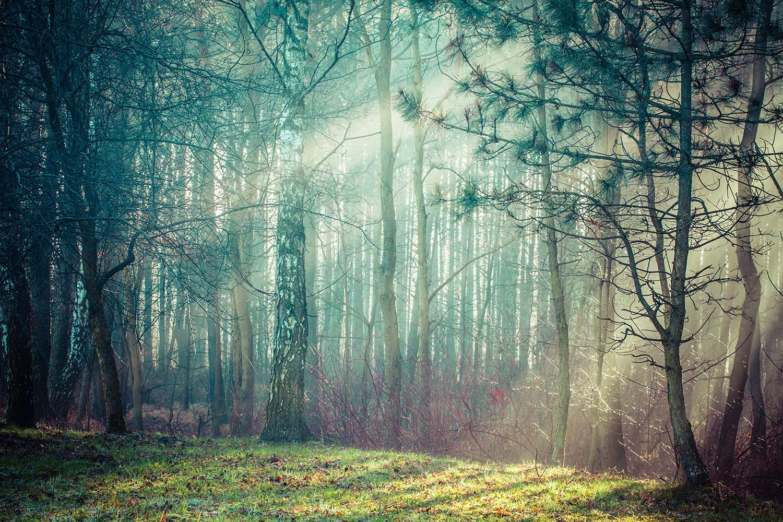 Fototapete Pinienwald