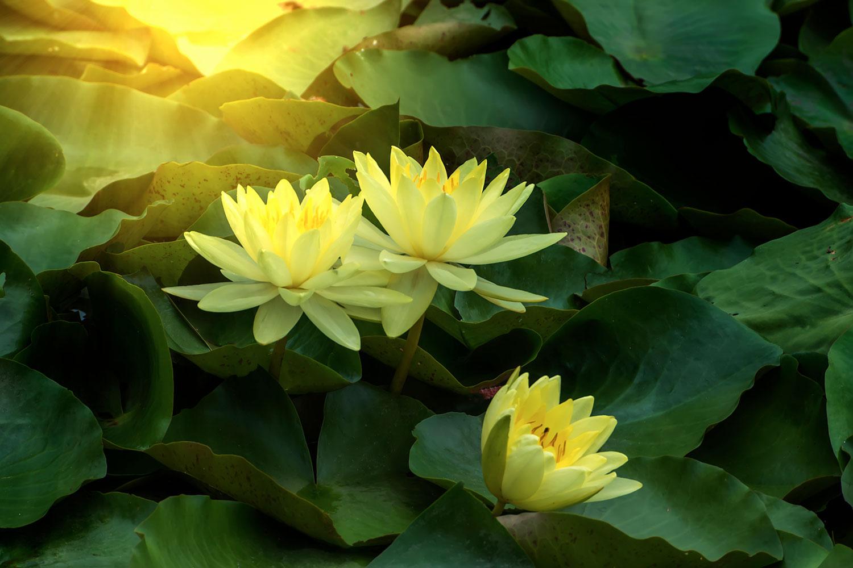 Fototapete Wilde Lotus