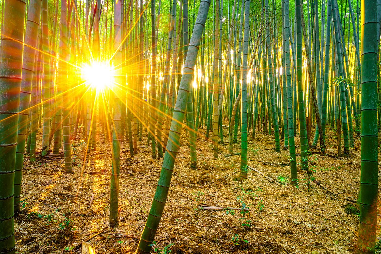 Fototapete Bambusse