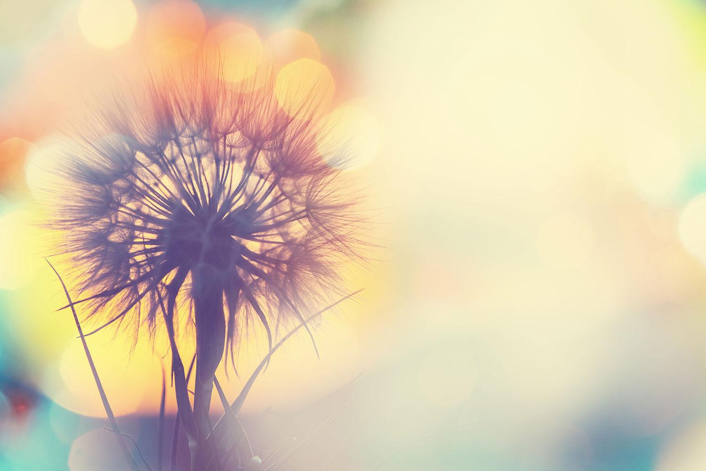 Fototapete Die Pusteblume im Licht